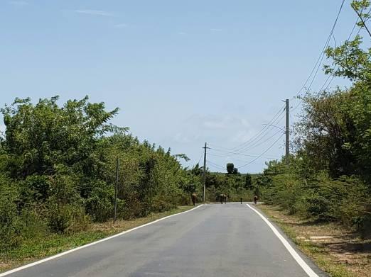 Vieques horses
