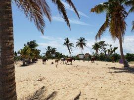 Wild horses of Vieques!